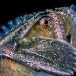 Argonauta argo - Mollusc of the Year 2021