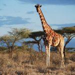 Giraffe genomics support four species